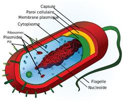 Etude de ''la vie'' dans les cellules de matière vivante
