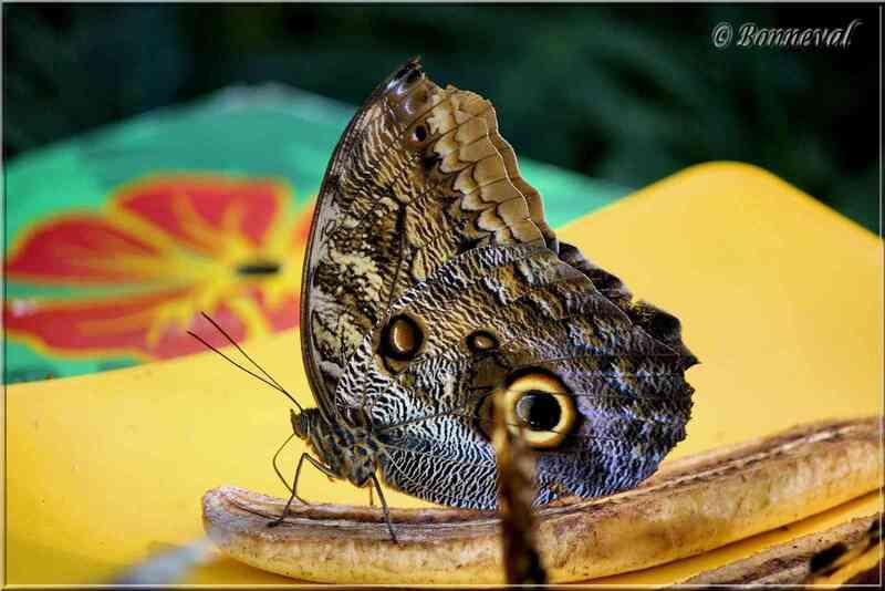 Papillons tropicaux Caligo eurilochus