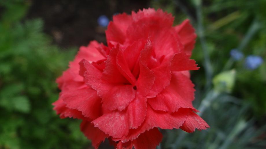 """Oeillet Mignardise """"Diane"""" Dianthus Plumarius."""
