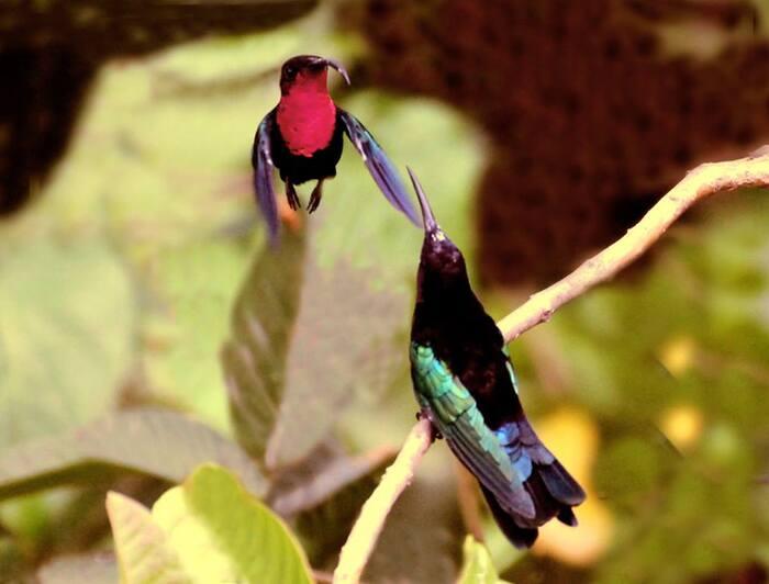 Colibris, Martinique