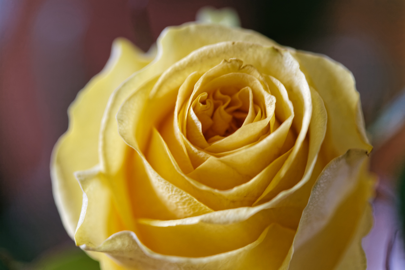 Roses jaunes