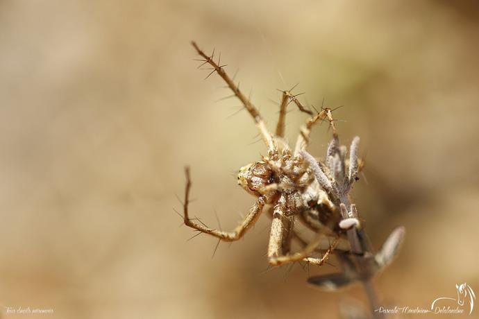 Araignée Lynx du genre Oxyopes  (peut-être lineatus)