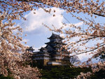 Sakura - cerisier japonais
