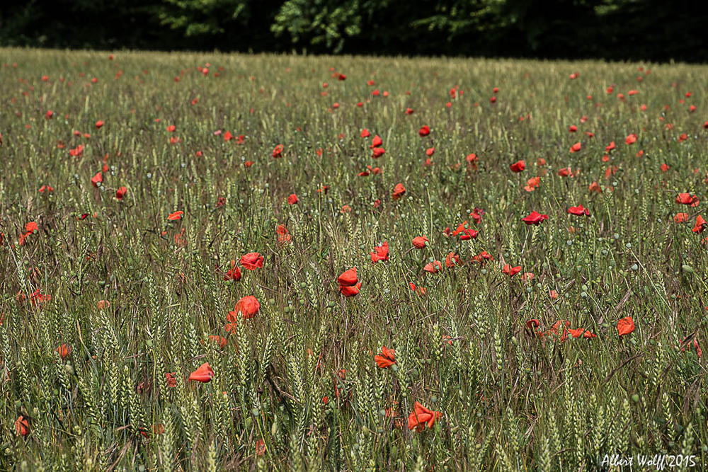 Coquelicots, enfin !