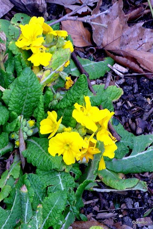 Fleurs jaunes : primevères, ...