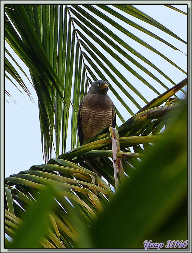 Blog de images-du-pays-des-ours : Images du Pays des Ours (et d'ailleurs ...), Buse à gros bec (Buteo magnirostris) - Isla Bastimentos - Bocas Del Toro - Panama