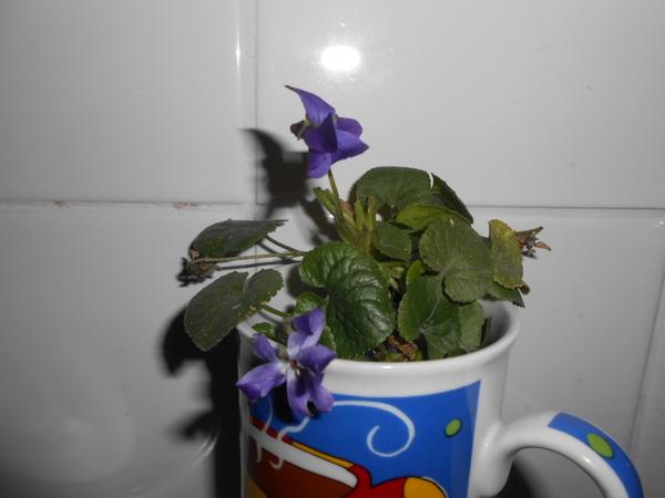 oh! des violettes