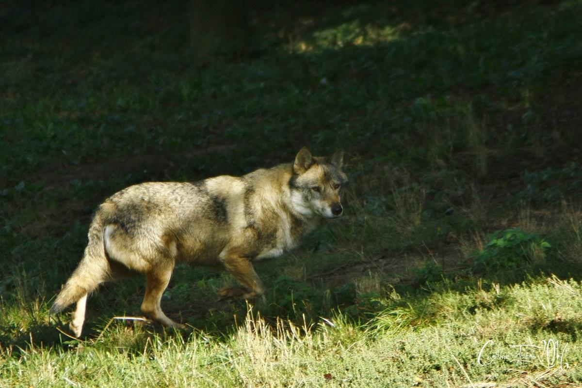 Loup gris européen