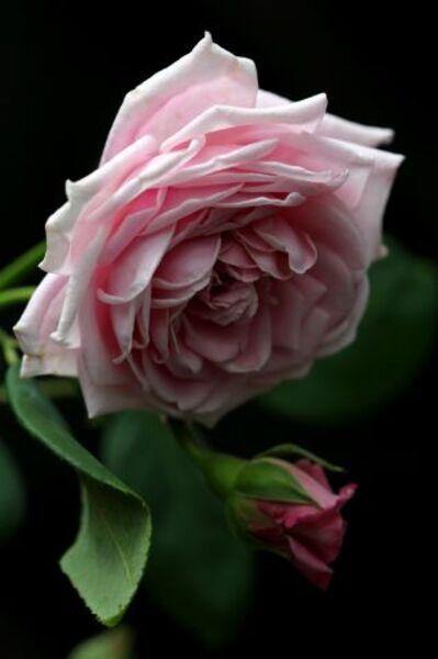 Igraine : une rose promise à un très bel avenir