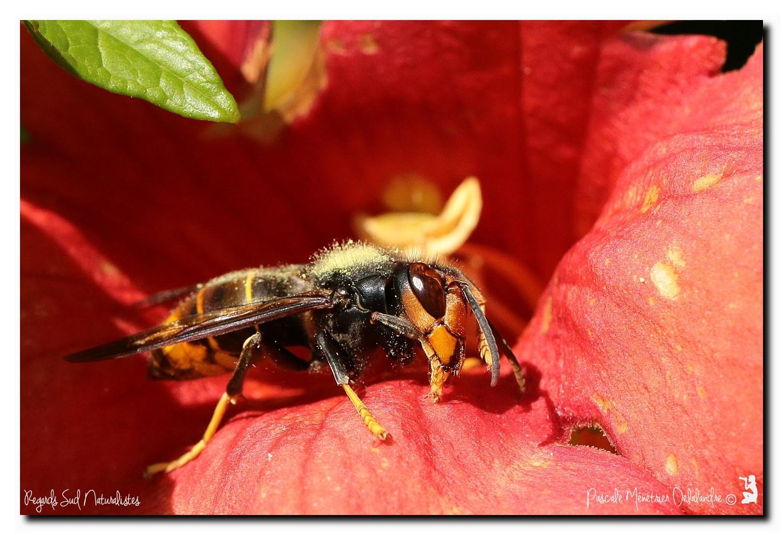 Frelon asiatique - Vespa velutina