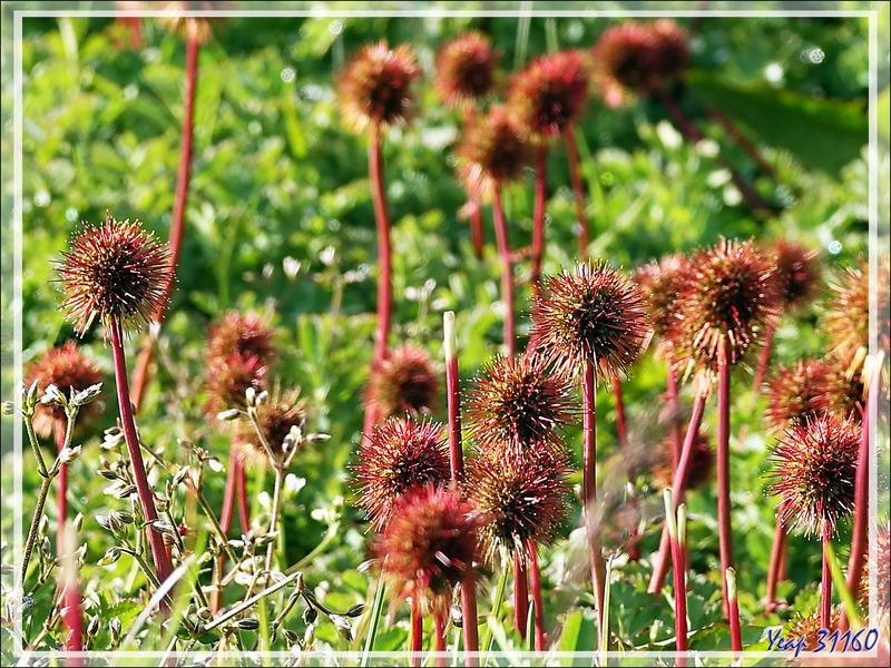 """Cette """"fleur"""" est apparemment LA plante de cette région : Lampourde Magellan (Acaena magellanica) - Grytviken - Géorgie du Sud"""