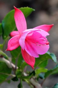 Fuchsia - Plante qui gèle