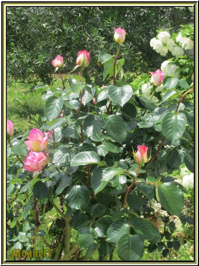 Après les iris, les roses du jardin
