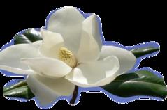 ♥ Magnolias ♥