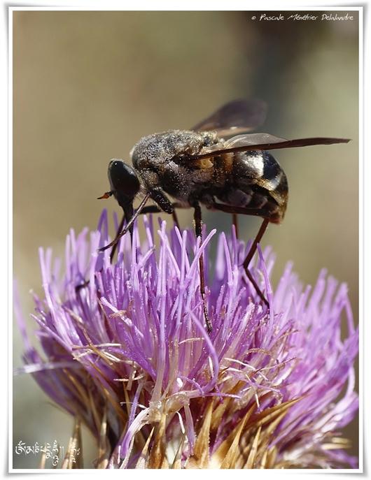 Taon Pangonius micans ♀ (Diptère tabanidae)
