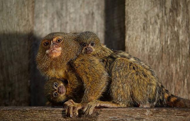 Australie: Trois ouistitis volés dans un zoo près de Sydney