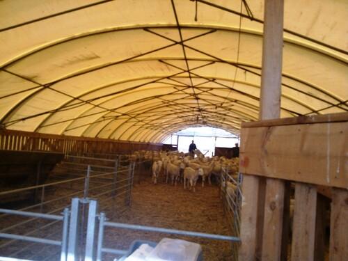 Et les agneaux restés dans le gard...