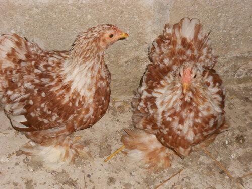 poules fauves