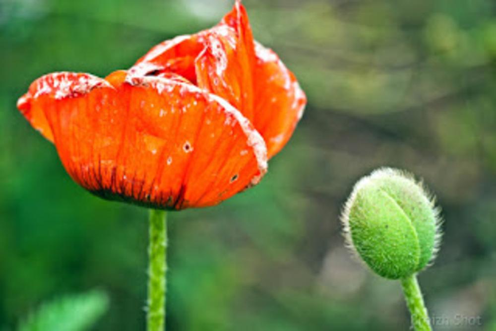 Le Pavot d'Orient est une plante vivace flamboyante