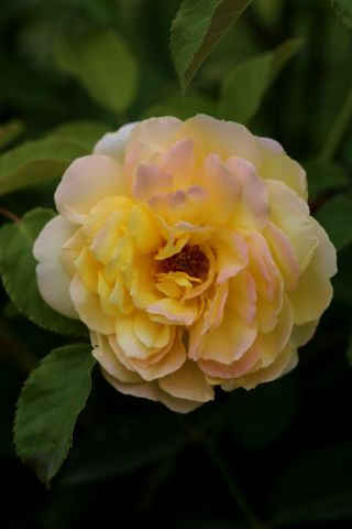 Les roses de Warren : Blushed Yellow