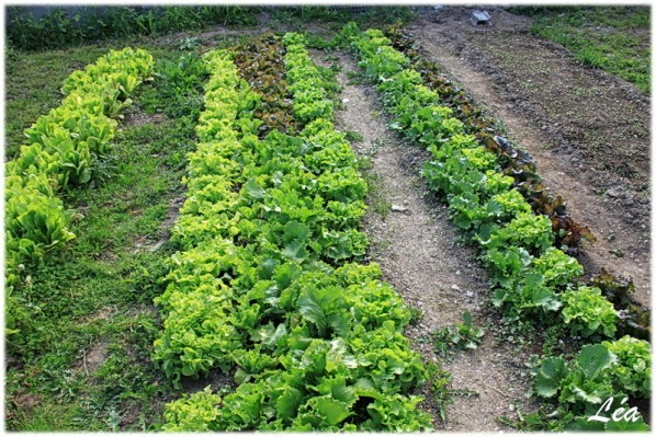 Jardin-0594-salades.jpg