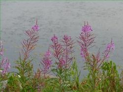 Fleurs sauvages, photos prises le 8 août.