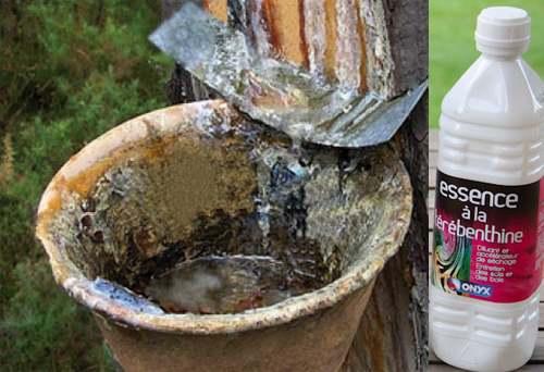 Vertus médicinales des arbres : Sapin blanc