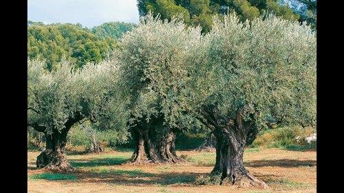 """Défi de An' Maï et compagnie liste 14 """"La récolte des olives"""""""