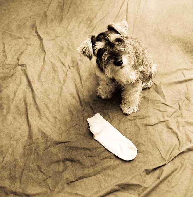 Races de chiens:   Schnauzer