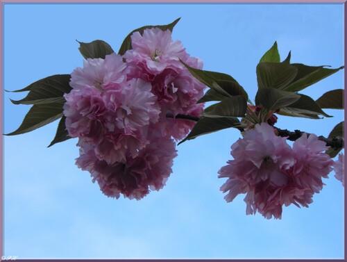 Cerisiers du Japon kanzan à Cahors