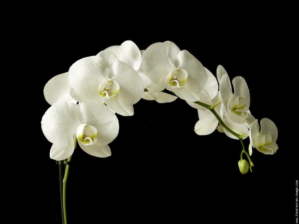 L 39 orchid e domaine de la vivari - Symbole de l orchidee ...