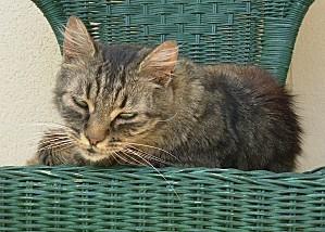 Chat-européen-tigré