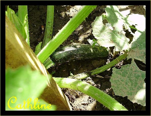 jeune-courgette-et-feuilles-oidium.jpg