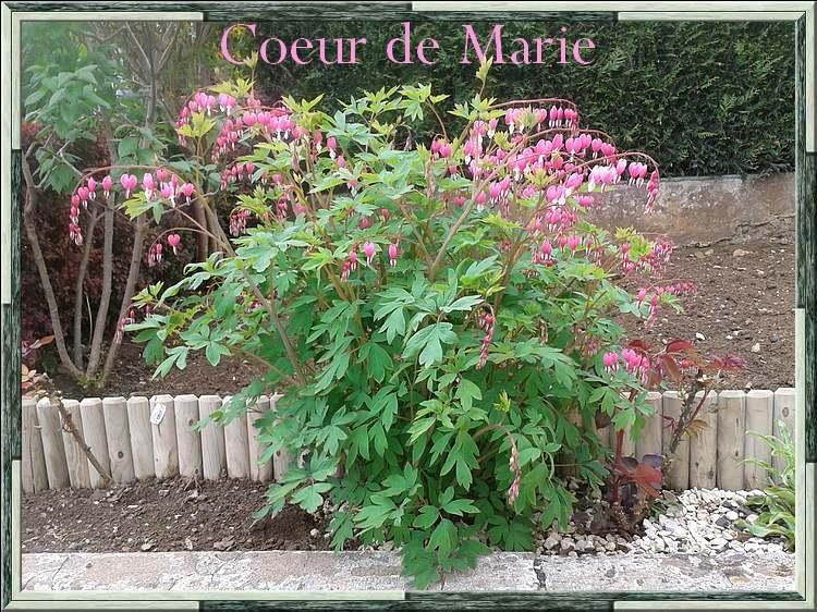 Fleurs cultivées : Coeur de Marie