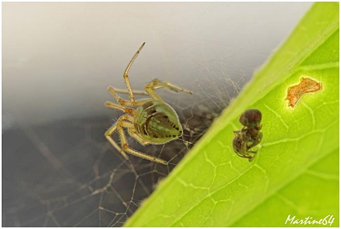 Arachnides 04 Theridion 7135
