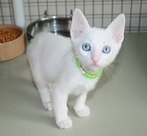 khao-manee-kittens-2011-08-13-026-700x648