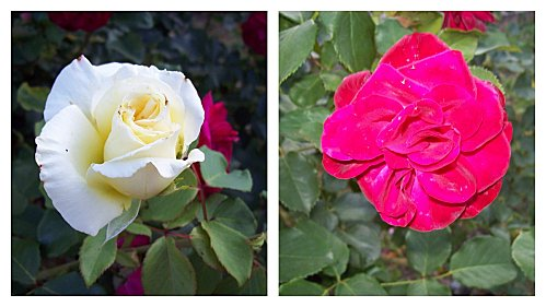 2 roses le 29 juillet 2011