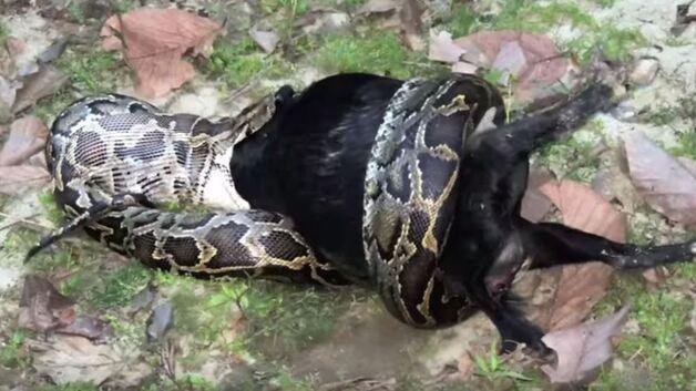 Chèvre python