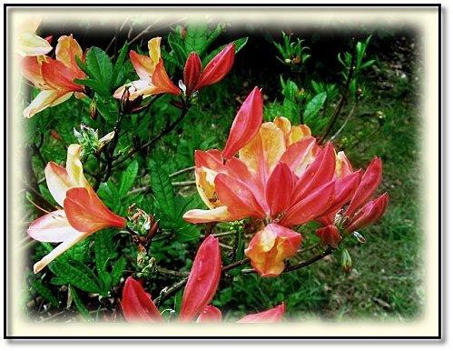 rhododendron-1.jpg