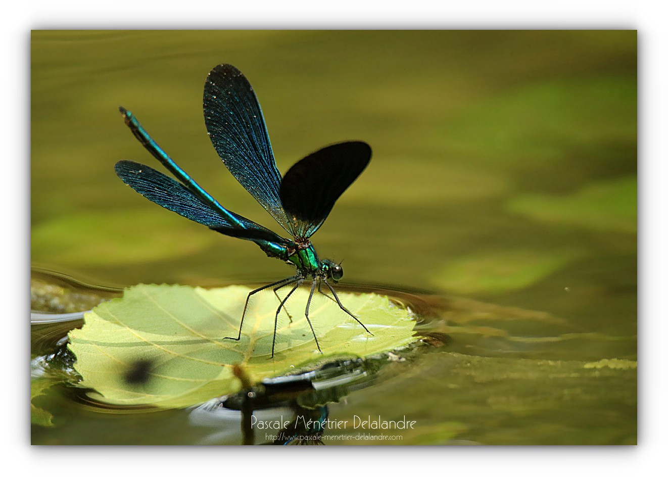 Caloptéryx vierge - Calopteryx virgo ♂