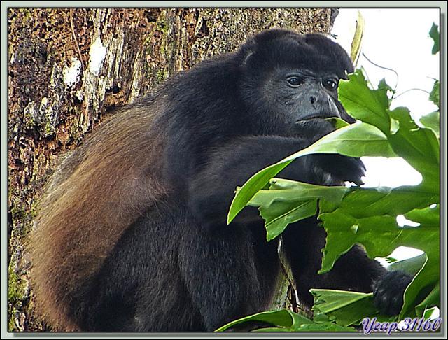 Blog de images-du-pays-des-ours : Images du Pays des Ours (et d'ailleurs ...), Singe Hurleur - Playa Cocles - Parc National de Cahuita - Puerto Viejo de Talamanca - Costa Rica