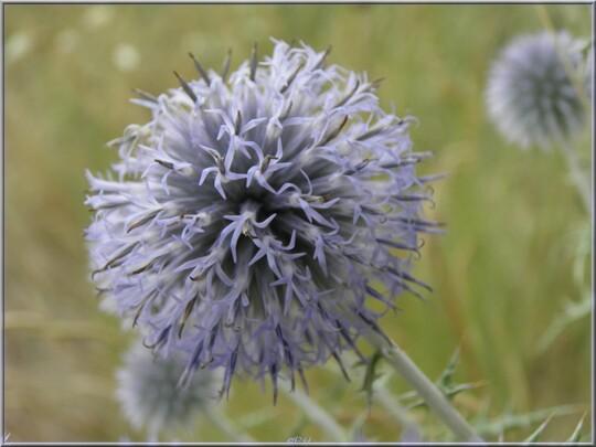 Azurite ou Oursin bleu