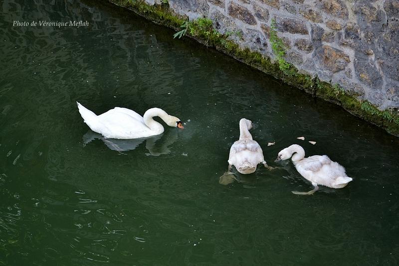 Une famille cygne s'installe au Parc de la Villette Paris 19ème