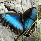 Grand morpho bleu au repos -  -  Photo : Guilaine (Août 2018