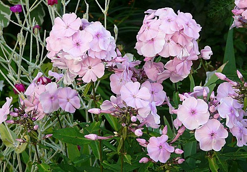 Phlox-roses-22-23-07-12---034.jpg