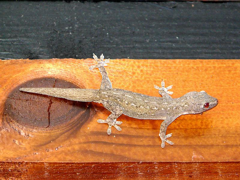 Gecko Margouillat (Hemidactylus frenatus) - Moorea - Polynésie française