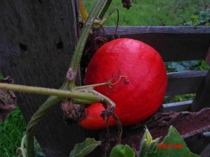 courge (4)