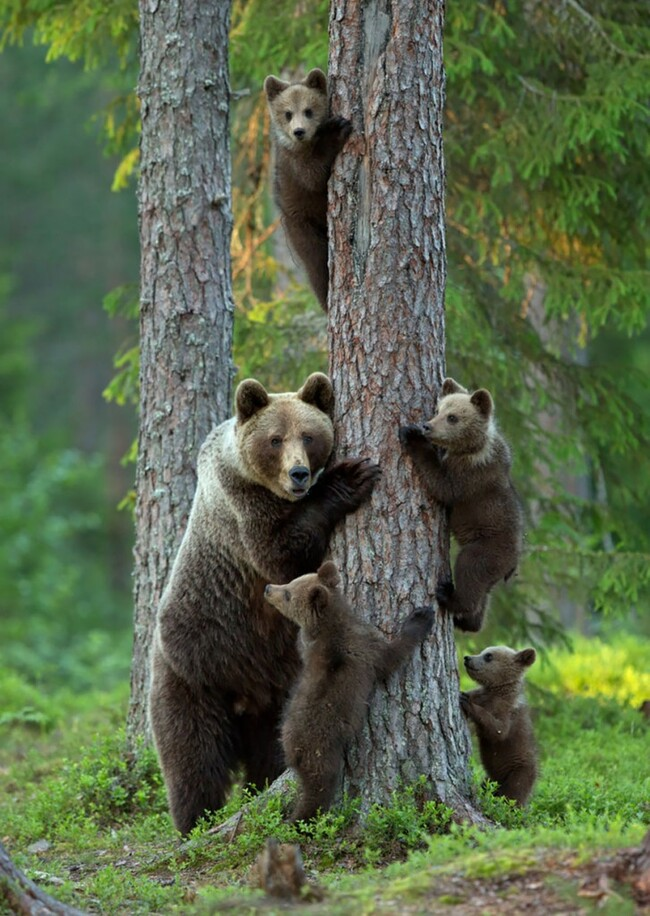 Photos de Famille d'Ours brun a col blanc