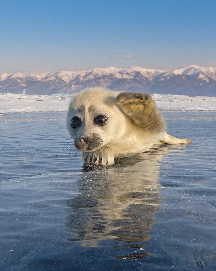 Ce photographe a passé trois ans à tenter d'obtenir un cliché d'un phoque sur le lac gelé,