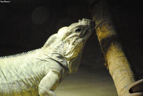 L'Iguane Rhinocéros.